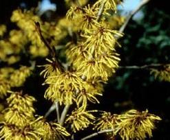 Poudre de Plante médicinale de Hamamélis (feuille), Hamamelis virginiana