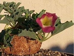 Poudre de Plante médicinale de Harpagophytum (racine), Harpagophytum procumbens