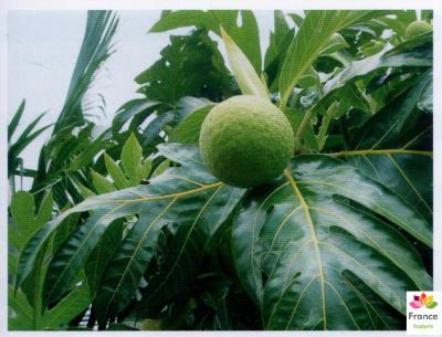 HUILE VÉGÉTALE d'Arbre à pain, (Artocarpus altilis)