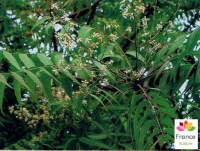HUILE VÉGÉTALE de Neem (Azadirachta indica)