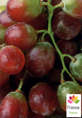 HUILE VÉGÉTALE de pépin de raisin (Coccoloba uvifera) BIO