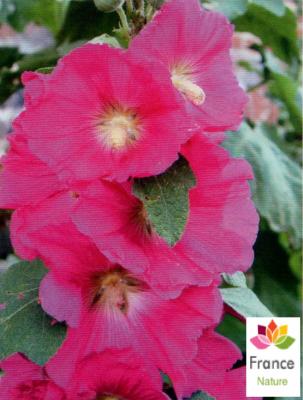 HUILE VÉGÉTALE de Rose musquée (Rosa Affinis Rubiginosa)