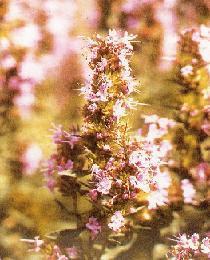 Poudre de Plante médicinale de Hysope (plante), Hysopus officinalis