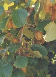 HUILE VÉGÉTALE de Kiwi (Actinidia chinensis) BIO