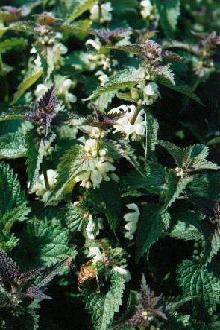 Plante médicinale d'Ortie blanche (plante), Urtica dioica BIO