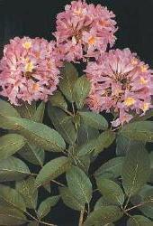 Plante médicinale de Lapacho (écorce), Tabebuia impetigosa