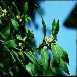 HUILE ESSENTIELLE de Laurier baie (Laurus nobilis)