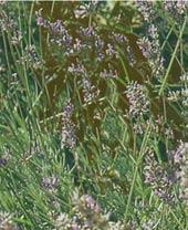Poudre de Plante médicinale de Lavande (fleur), Lavandula officinalis
