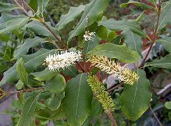 HUILE VÉGÉTALE de Macadamia (Macadamia ternifolia)