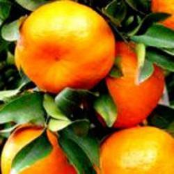 HUILE ESSENTIELLE de Mandarine jaune (Citrus reticulata)