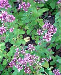 Plante médicinale de Marjolaine (feuille), Majorana hortensis