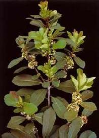 Plante médicinale de Maté vert (feuille), Ilex paraguariensis BIO