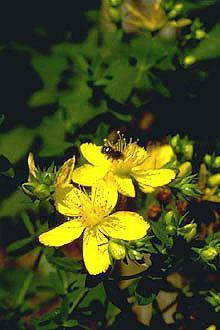 Poudre de Plante médicinale Millepertuis (plante), Hypericum perforatum