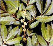 Plante médicinale de Muira puama (bois), Ptychopetalum olacoïdes