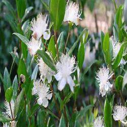 HUILE ESSENTIELLE de Myrte citronné (Backhousia citriodora)