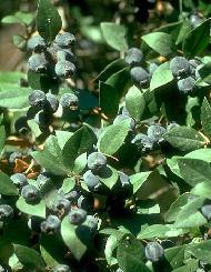 Plante médicinale de Myrte (feuille), Myrtis communis