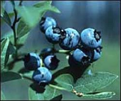 Plante médicinale de Myrtille (feuille), Vaccinium myrtillus