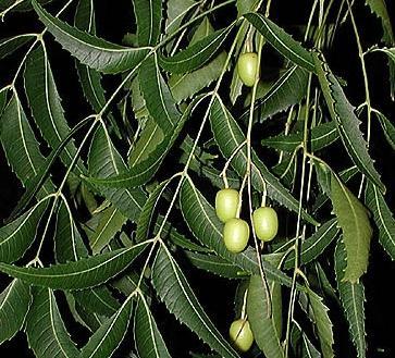 HUILE VÉGÉTALE de Neem (Azadirachta indica) BIO