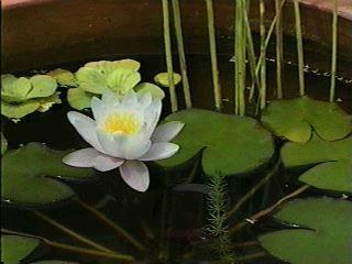 Poudre de Plante médicinale de Nénuphar blanc  (fleur), Nymphaea alba