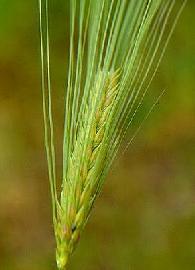 Plante médicinale d'Orge (semence), Hordeum vulgare