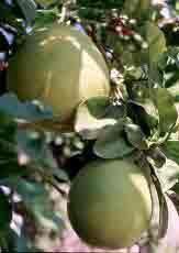 HUILE ESSENTIELLE de Pamplemousse (Citrus grandis)
