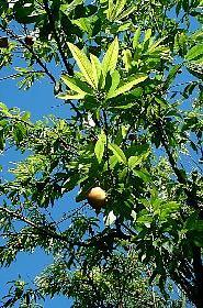 HUILE VÉGÉTALE de Noyaux de Pêche (Prunus persica) BIO