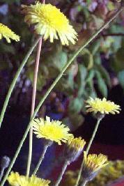 Plante médicinale de Piloselle (plante), Hieracium pilosella