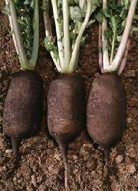 Plante médicinale de Radis noir (racine), Rhaphanus sativus