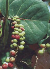 GÉLULES  de Marc de raisin (250 mg), Coccoloba uvifera