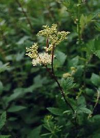 Plante médicinale de Reine des prés (fleur), Spiraea ulmaria