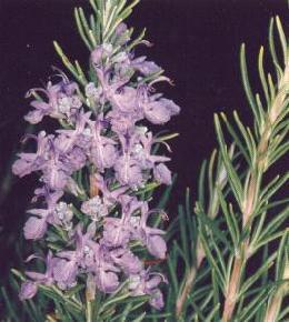 Plante médicinale de Romarin (feuille), Rosmarinus officinalis