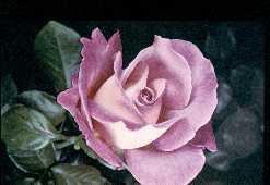 Plante médicinale de Rose pâle (bouton floral), Rosa gallica