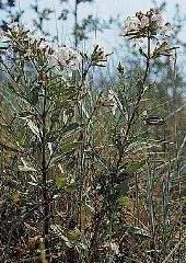 Plante médicinale de Saponaire (racine), Saponaria officinalis