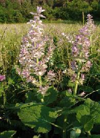 Plante médicinale de Sauge sclaree (plante), Salvia sclarea