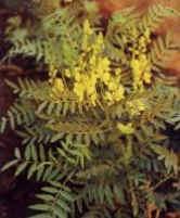 Plante médicinale de Séné (feuille), Cassia senna
