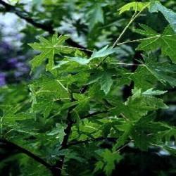 HUILE ESSENTIELLE de benjoin de sumatra, (Styrax benzoin)