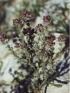 Plante médicinale de Thym (feuille), Thymus vulgaris