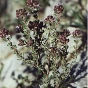 HUILE ESSENTIELLE d'Ajowan (Trachyspermum copticum)