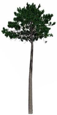 HUILE ESSENTIELLE de Térébenthine (Pinus pinaster)