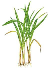 HUILE ESSENTIELLE de Lemon-grass (Cymbopogon flexusosus)