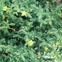 GÉLULES de Damiana (200 mg), Turnera diffusa