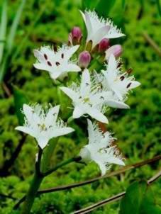 Plante médicinale de Menyanthe (plante), Menyanthes trifoliata