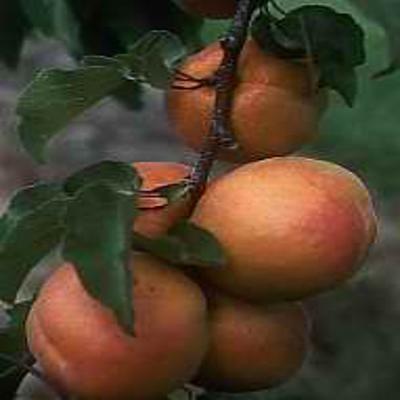 GÉLULES d 'Abricotier (coque) 250 mg, (Armeniaca vulgaris)