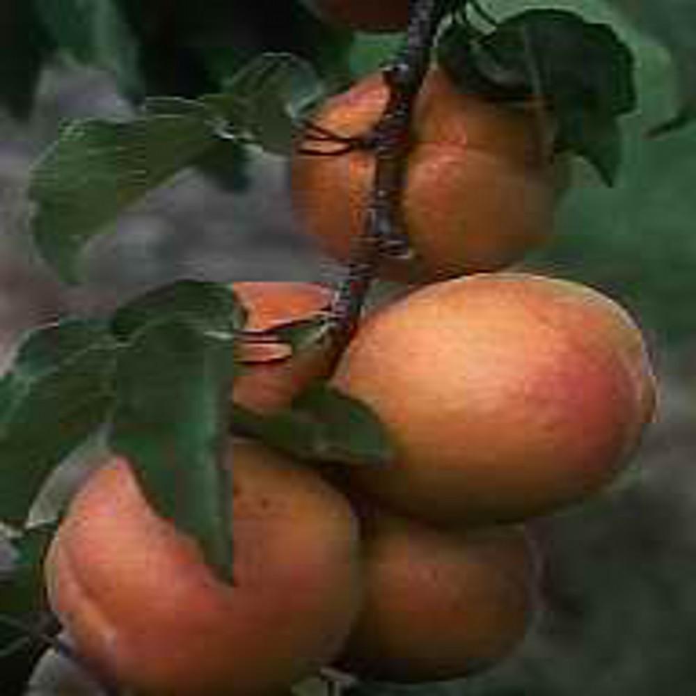 Abricot 6