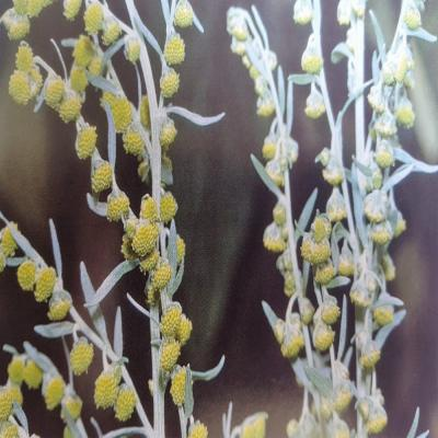 PLANTE MÉDICINALE d'Absinthe (plante), Artémisia absinthium