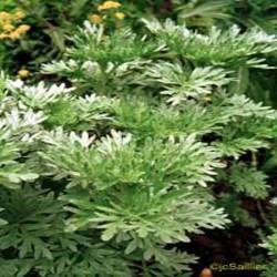 PLANTE MÉDICINALE d'Absinthe PA, (Artémisia absinthium) BIO