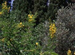 Poudre de Plante médicinale d'Acacia (fleur), Acacia horrida