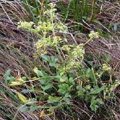 GÉLULES d 'Ache des marais 200 mg, (Apium graveolens)
