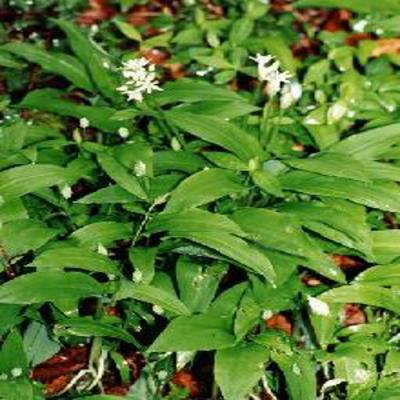 GÉLULES d'Ail des ours 200 mg, (Allium ursinum)