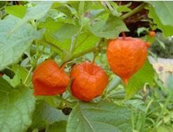 Poudre de Plante médicinale d'Alkékenge (fruit), Physalis alkekengi